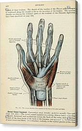 Anatomy Human Body Old Anatomical 83 Acrylic Print by Boon Mee