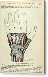 Anatomy Human Body Old Anatomical 84 Acrylic Print