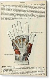 Anatomy Human Body Old Anatomical 85 Acrylic Print by Boon Mee