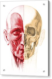 Anatomy Of A Male Human Head, With Half Acrylic Print