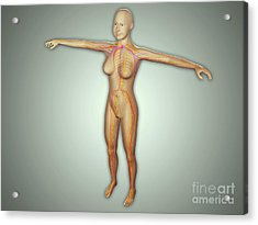 Anatomy Of Female Body With Arteries Acrylic Print by Stocktrek Images