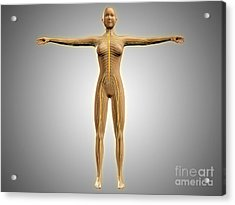 Anatomy Of Female Body With Nervous Acrylic Print by Stocktrek Images