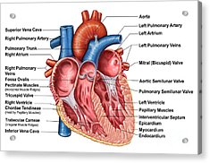 Anatomy Of Heart Interior, Frontal Acrylic Print by Stocktrek Images
