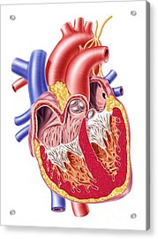 Anatomy Of Human Heart, Cross Section Acrylic Print by Leonello Calvetti
