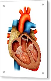 Anatomy Of Human Heart, Cross Section Acrylic Print by Stocktrek Images