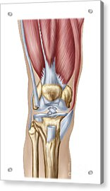 Anatomy Of Human Knee Joint Acrylic Print by Stocktrek Images