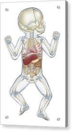Anatomy Of Human Newborn Baby Acrylic Print by Dorling Kindersley/uig