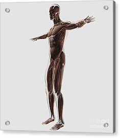 Anatomy Of Male Muscular System, Side Acrylic Print by Stocktrek Images