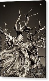 Acrylic Print featuring the photograph Ancient Bristlecone Pine In Black And White by Dave Welling