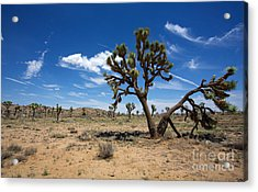 Ancient Joshua Tree Acrylic Print