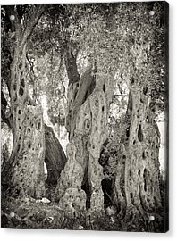 Ancient Olive Acrylic Print by Paul Cowan