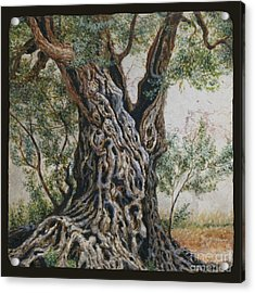 Ancient Olive Tree Trunk Acrylic Print