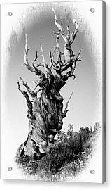 Ancient Pine Acrylic Print