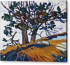 Ancient Red Cedars Acrylic Print