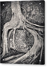 Ancient Roots Acrylic Print by Adam Romanowicz