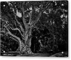 Ancient Tree Acrylic Print