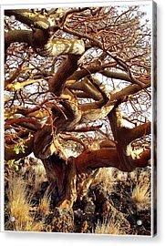 Ancient Wiliwili Tree Acrylic Print by Stephen Green