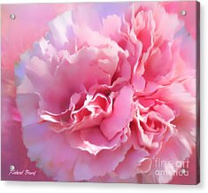 And A Pink Carnation Acrylic Print