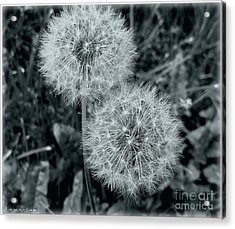 ...and I Huff... And I Puff... Acrylic Print