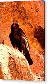 Andean Condor Acrylic Print by Art Wolfe
