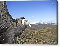 Andean Condor Acrylic Print by M. Watson