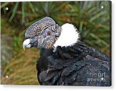 Andean Condor Acrylic Print by William H. Mullins
