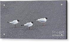 Andean Gulls Acrylic Print