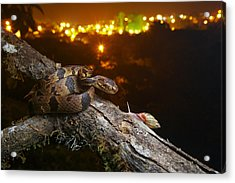 Andean Snail-eater Female And Land Acrylic Print