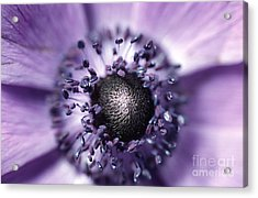 Anemone  Acrylic Print by Carl Perkins