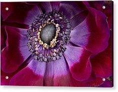 Anemone Coronaria  Macro Acrylic Print by Ann Garrett