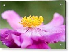 Anemone Flower Close Up Acrylic Print by Natalie Kinnear