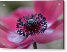Anemone In Pink Acrylic Print by Julie Palencia