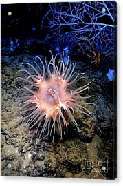 Acrylic Print featuring the photograph Anemone Sea Life Sea Ocean Water Underwater by Paul Fearn