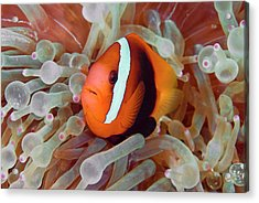 Anemonefish Among Poisonous Tentacles Acrylic Print