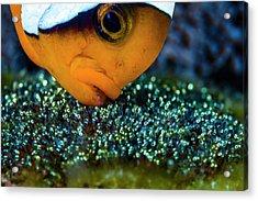 Anemonefish With Eggs, Cebu Acrylic Print