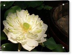 Angel Lily  Acrylic Print by Gregory Smith