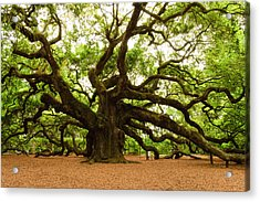 Angel Oak Tree 2009 Acrylic Print