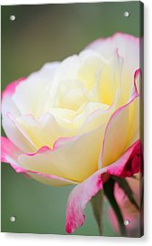 Angel Of Roses Acrylic Print
