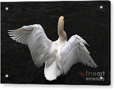 Angel Swan Acrylic Print