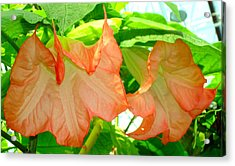 Angel Trumpet  Acrylic Print by Kay Gilley