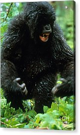 Angry Mountain Gorilla Acrylic Print by Art Wolfe