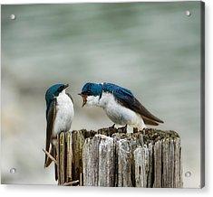 Angry Swallow Acrylic Print