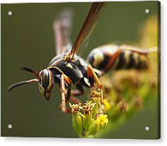 Angry Wasp Acrylic Print by Monica Veraguth