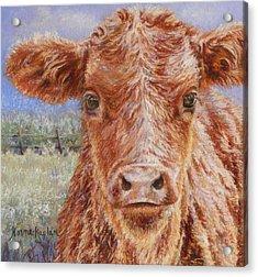 Angus Calf Norman IIi Acrylic Print