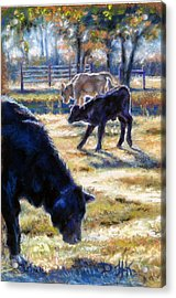 Angus Calves Out With Dad Acrylic Print