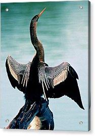 Anhinga Anhinga Anhinga Drying Feathers Acrylic Print