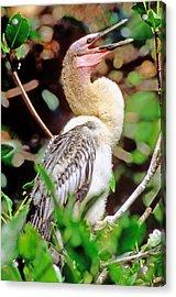 Anhinga Anhinga Anhinga Nestling Acrylic Print