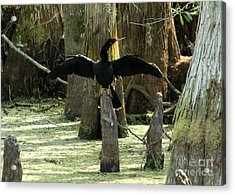 Anhinga At Rest Acrylic Print by Theresa Willingham