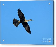 Anhinga Female Flying Acrylic Print by Anthony Mercieca