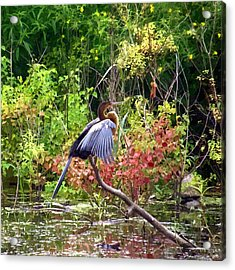 Anhinga In Swamp Acrylic Print